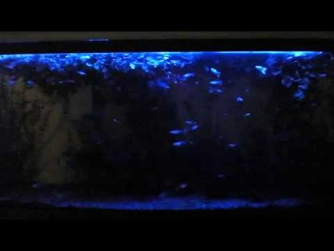 Guppy moonlight 55 gallon planted aquarium