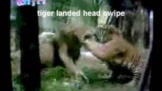 getlinkyoutube.com-Tiger vs Lion. Tiger the more powerful paw swipes, smarter better boxer and fighter Part 1.