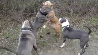 getlinkyoutube.com-XXL AMERICAN BULLY PITBULLS playing at the beach.