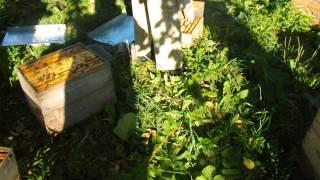 бакфаст. отём мёда матки высадка в мг 18.09.2014 ул55
