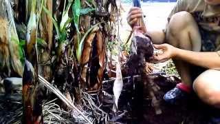 getlinkyoutube.com-ปลูกกล้วยหอมทอง ที่บ้านไร่สายทอง จ.พะเยา 2558 - Gros Michel banana plant at Phayao Thailand 2015