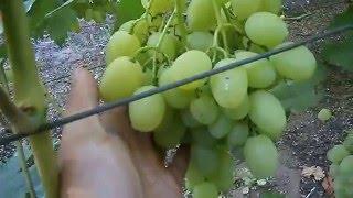 getlinkyoutube.com-Мой виноградник видео 11