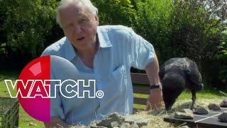 David Attenborough's Natural Curiosities: Bran The Raven | Watch