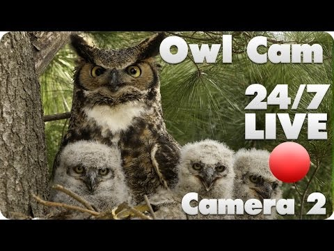 Great Horned Owl Live Cam #2