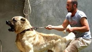 getlinkyoutube.com-أقوي و أشرس كلب في العالم .. كلب الكانغال التركي