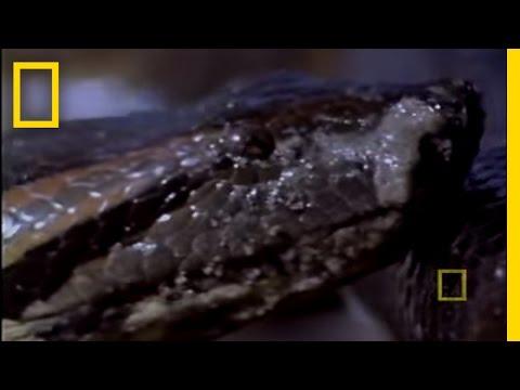 Anaconda Birth
