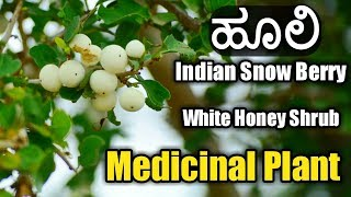 ಹೂಲಿ, Indian Snow Berry, , White Honey Shrub