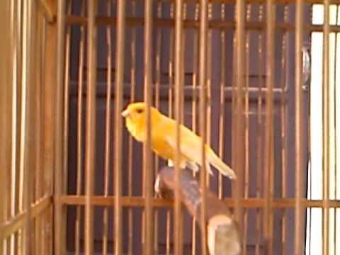 burung kenari, canary, (Serinus Canaria)