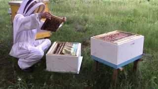 getlinkyoutube.com-Готовлю пчелосемьи к объединению