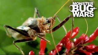 getlinkyoutube.com-Bee Killer Assassin Bug Vs Earwig | MONSTER BUG WARS