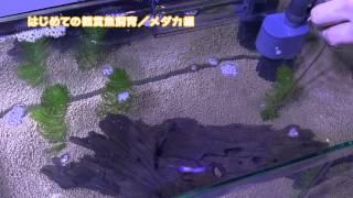 getlinkyoutube.com-はじめての観賞魚飼育メダカ編