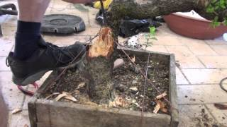 getlinkyoutube.com-Bonsai prunus spinosa carving
