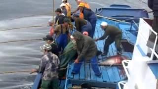 صيد اسماك التونه بكميات واحجام هائله