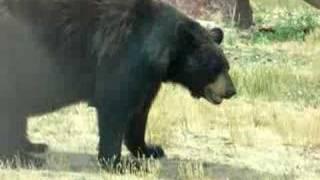 getlinkyoutube.com-Bear Pooping