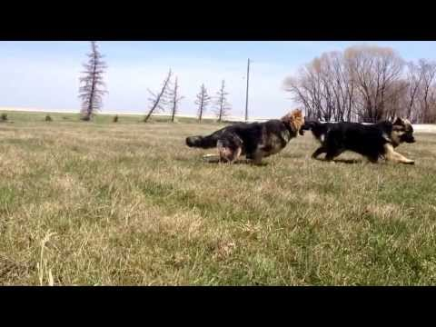 German shepherds long coat playing fetch