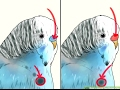 How to easily identify Your Budgie Sex .  Male or Female
