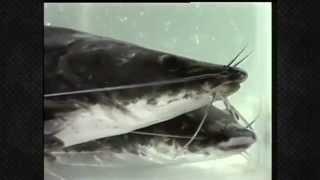 getlinkyoutube.com-การใช้เหยื่อและการตกปลากดเหลือง Thailand fishing