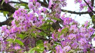getlinkyoutube.com-'ดอกเสลาสีม่วง-ขาว' บานสะพรั่งอ่างเก็บน้ำบางพระ จ.ชลบุรี - Springnews