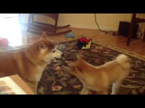 My Shibas Playing