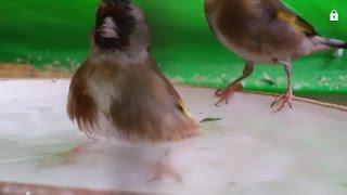 getlinkyoutube.com-هل نقدم ماء الاستحمام للطيور في فصل الشتاء