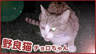 getlinkyoutube.com-野良猫 チョロちゃん!かわいい鳴き声でお出迎え?ストーカー猫 -Cute Feral cat that is waiting for me #5. 2016 10 17