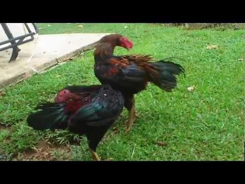 Ayam Sabung Champion Thailand   Berita Koran