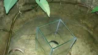 getlinkyoutube.com-การผสมพันธุ์ปลากัดหม้อ คลิป๒