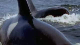 getlinkyoutube.com-KILLER WHALES vs GREAT WHITE SHARK - Orca whale kills great white & eats it