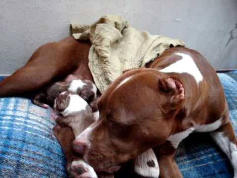 pitbull giving birth 1/18/2010