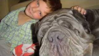getlinkyoutube.com-Tribute to our Neapolitan Mastiff FRANNIE (Furia Del Gheno)