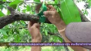 getlinkyoutube.com-การฝากท้องมะม่วง