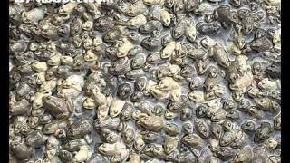 getlinkyoutube.com-ฟาร์มกบโดยกบดีดอทคอม frog farm by kobdee