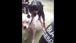 getlinkyoutube.com-Dogo Argentino vs Rottweiler
