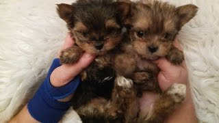 getlinkyoutube.com-The Faery Dog Mother: Squeakers MORKIE babies! Ready soon!