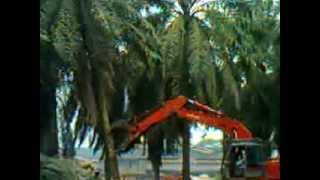 getlinkyoutube.com-Sawit, Replanting Kelapa Sawit, Sungai Bahar, Jambi