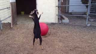 getlinkyoutube.com-Best Use For A Yoga Ball, According To My Goats.