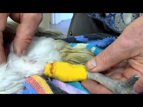Ibis Chick with Cast Bent Toe and Broken Leg Recheck with Dr Ross Perry #3 300810