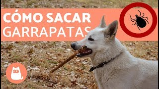 getlinkyoutube.com-Cómo sacar garrapatas - How to remove ticks