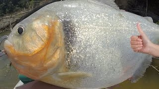 BIGGEST PIRANHA IN THE WORLD - Amazon River Monsters