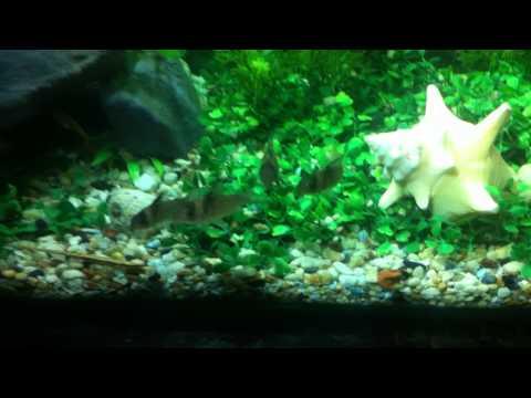 Mi primer acuario (con guppys salvajes) wild guppy (Actualizado)