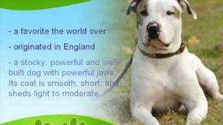 getlinkyoutube.com-American Bulldog History