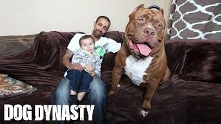 getlinkyoutube.com-Meet 'Hulk': The Giant 175lb Family Pit Bull