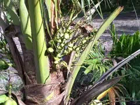 How Coconuts Grow - South Florida Coconut Plantation will ship you fresh coconuts anywhere in the US