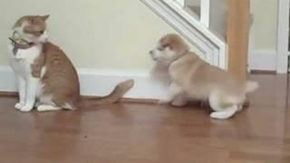 Cat unimpressed by Shiba Inu puppy.