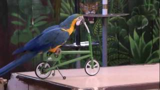 getlinkyoutube.com-Funny parrot show...