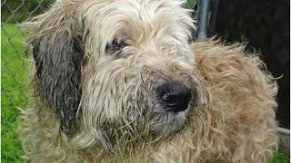 getlinkyoutube.com-【涙腺崩壊】12年も一緒にいた飼い犬を捨てた男性に手紙が届く