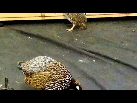 Black francolin 13 months old
