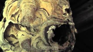 Asian Giant Hornet Nest - Order Hymenoptera Species V. mandarinia view on youtube.com tube online.