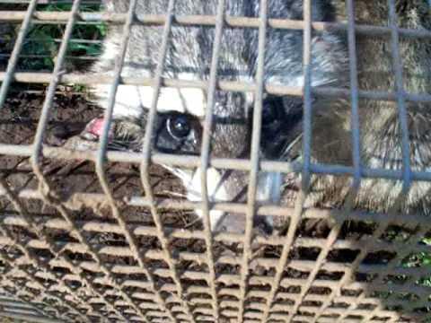 BEEKEEPING, Beekeepers Beehive Small Hive Beetle vegetable oil trap Raccoon problems,GA. Honeybees