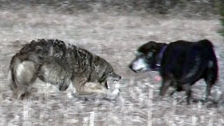 Coyote attacks unleashed pet dog